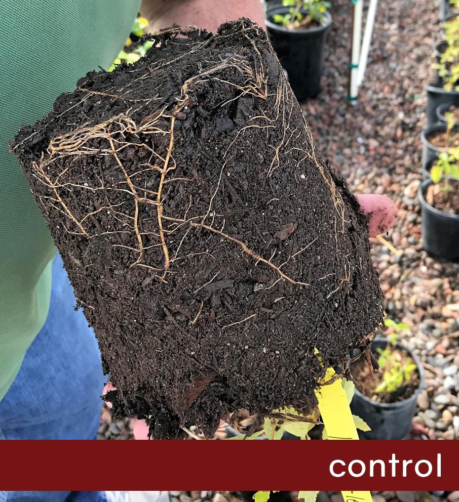 Control Lantana Root Ball