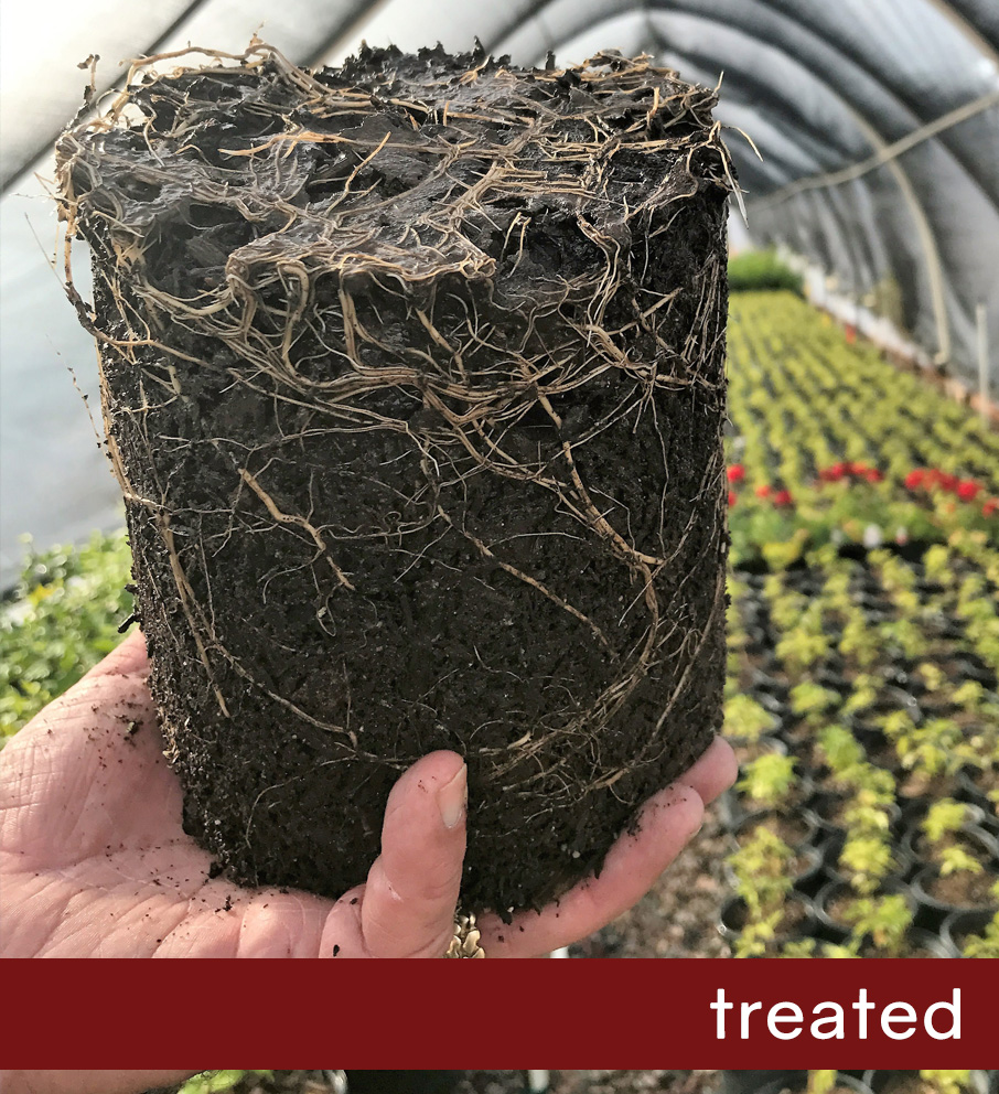 Treated Lantana Root Ball