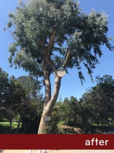Eucalyptus-After