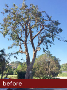Eucalyptus-Before