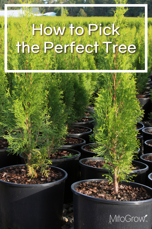 How to Pick the Perfect Tree