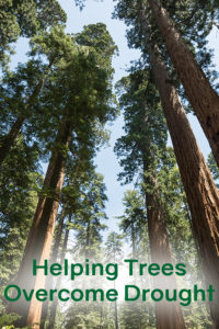 Helping Trees Overcome Drought