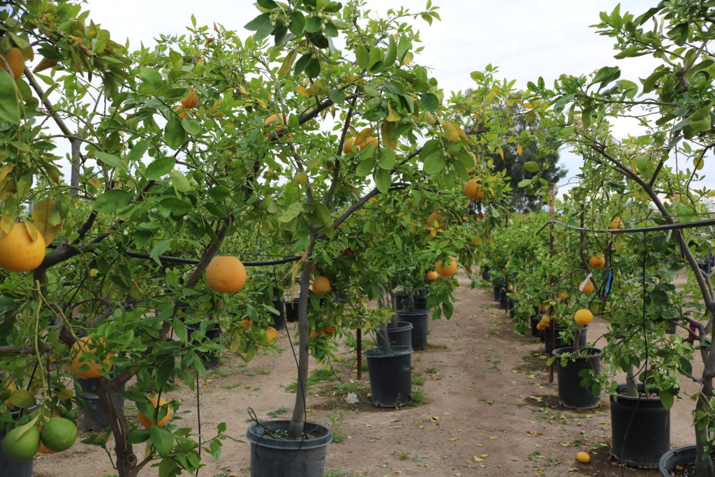 Citrus trees at a local nursery